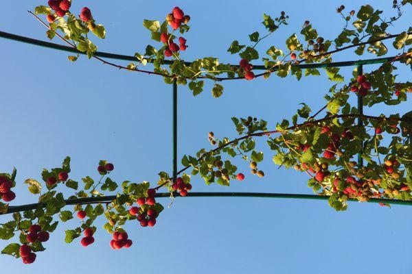 Bei uns im Garten wachsen die angepflanzten Himbeeren in den Himmel.