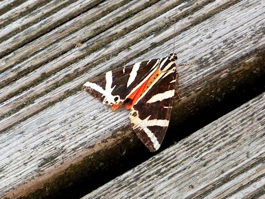 Der Schmetterling ruht und wird gerade nicht von der Blume angezogen, die er so gerne mag.