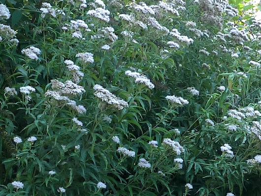 Wasserdost: Die Lieblingspflanze vom Schmetterling Russischer Bär.