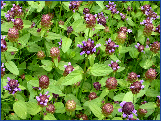 Das essbare Wildkraut oder auch Unkraut Braunelle ist im insektenfreundlichen Garten zu finden.