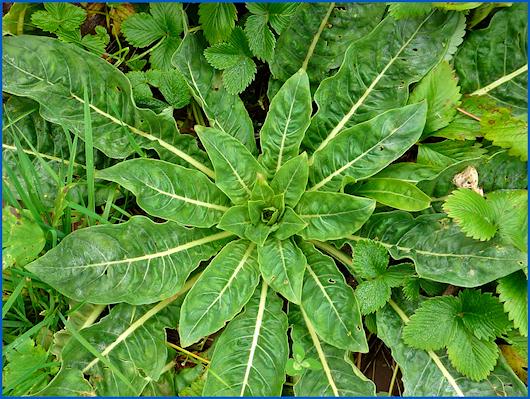 Nachtkerze zur Ernte von Blättern und Wurzeln.