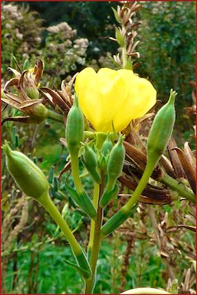 Von der Nachtkerze kann man Samen ernten, aber auch Blätter und Wurzeln.