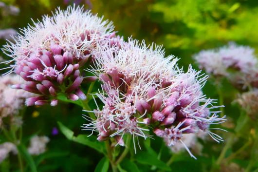 Diese Blume zieht speziell diesen ungewöhnlichen Schmetterling an.