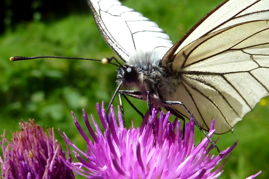 Die Eberesche ist auch eine gute Futterquelle für Schmetterlinge.