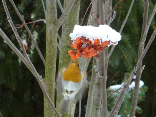 Für Vögel ist die Eberesche eine wichtige Nahrungsquelle im Winter. Hier das Rotkehlchen.