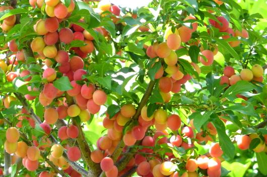 Die Kirschpflaume: Wildobst, das gut in den Garten passt und auch noch schmeckt!