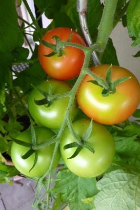 Tomaten kann man gut im Topf anbauen.