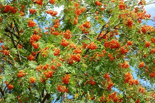 Eberesche oder Vogelbeere zählt zum Wildobst, das man auch im Garten anpflanzen kann.