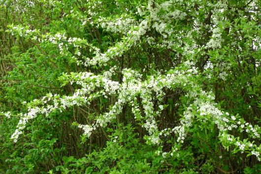 Wildobst in der Hecke im Garten oder in der Natur ist eine wichtige Bienenweide.