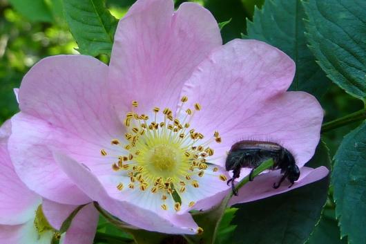 Die Wildrose ist insektenfreundlich und die Hagebutten schmecken unvergleichlich gut!