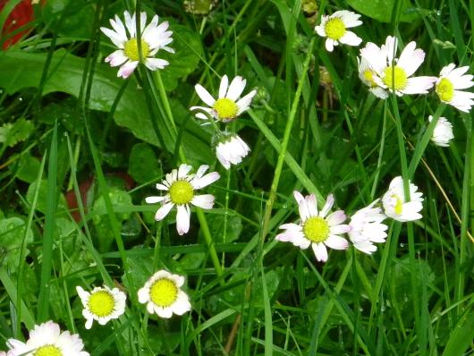Essbare Wildpflanzen im Frühling: Gänseblümchen