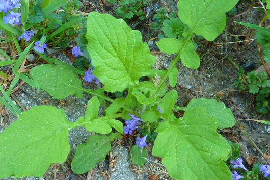 Essbare Wildpflanzenim Frühling finden: Rainkohl