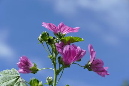 """Die essbare Wildpflanze """"Wilde malve"""" kann man noch im Herbst ernten."""