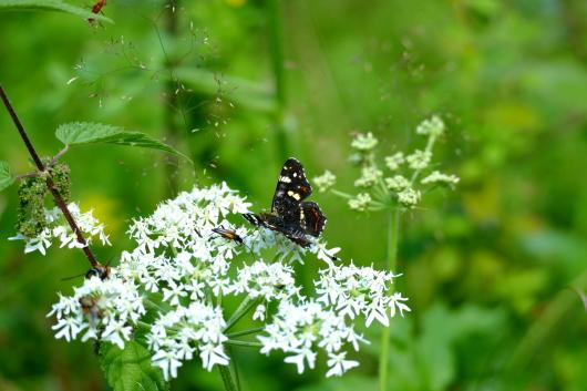 Samen von der Brennnessel und Wiesenbärenklau mit Schmetterling.