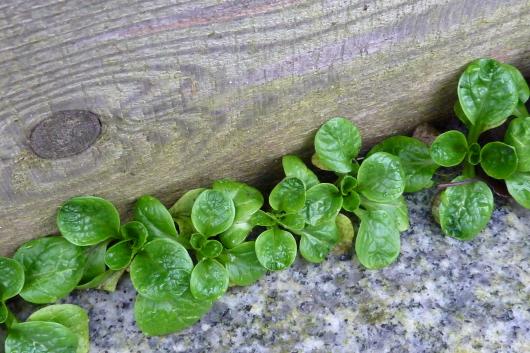 Feldsalat für Gemüse anbauen im Kleingarten