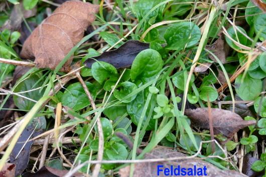 Feldsalat ist ein typischer Vertreter der Wintersalate.
