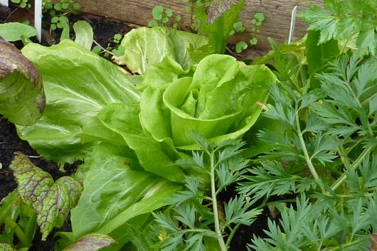 Gemüse anbauen im kleinen Garten