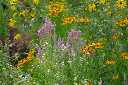 Blumen und Wildkräuter im Beet ohne Pappe.