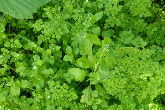 Beet ohne Pappe anlegen - essbare Wildpflanzen und Kräuter ernten.