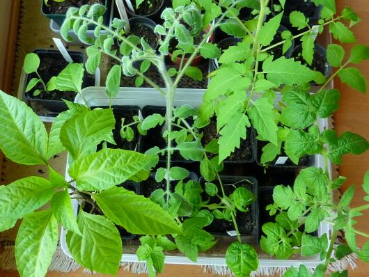 Tomaten vorziehen im April
