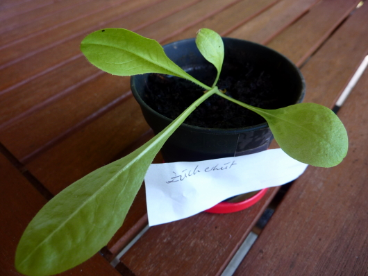 Zuckerhutsalat aus Samen anbauen