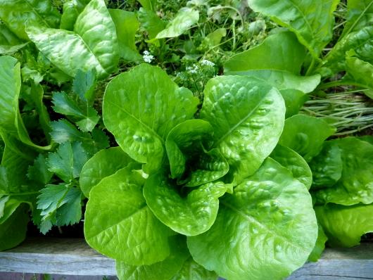 Naturgarten Salat