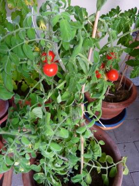 Welche Erde für Tomaten?
